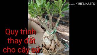 🌳Các Bước Thay Đất Cho Cây Sứ   Change the soil adenium tree