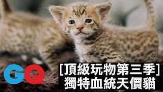 獨特血統的貓貓!天價貓咪超級萌#4|頂級玩物第三季 thumbnail