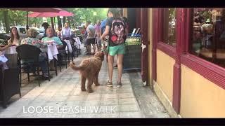 6 Mo Old Golden Doodle, Bentley | Golden Doodle Dog Trainers | Greenville Dog Trainers