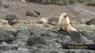 Leucistic fur seal holds a territory.