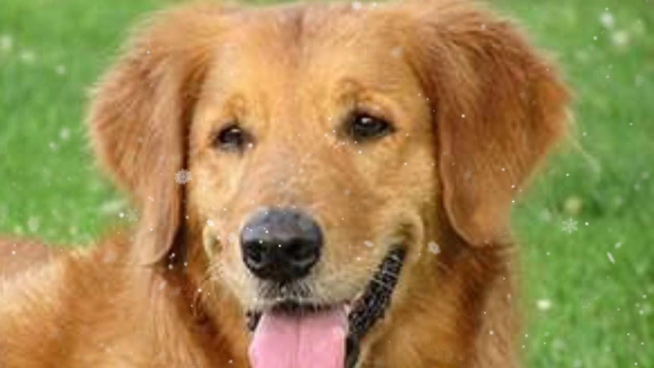 نباح الكلاب اصوات الكلاب صور الكلاب اشرس كلاب في العالم صوت الكلب نباح الكلب طيور الجنه Youtube