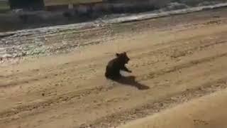 В Якутии медвежонок попытался напугать водителя