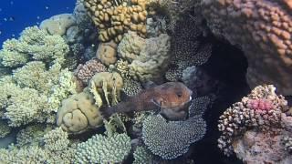 длинношипая рыба-еж