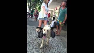 Lino walking with Puppies on backpack #Puppies #Puppie #Puppiedog #labrador #pet #dog
