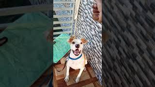 Pitbull terrier stand training