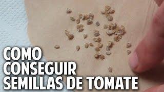 como conseguir semillas de tomate de rápida germinación 100% confiables @cosasdeljardin
