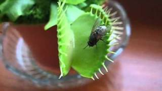 dionaea muscipula eating (must see)