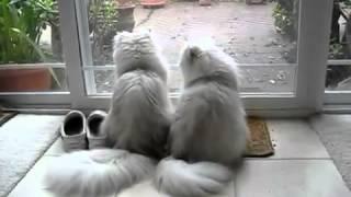 Прикольные кошки как персидские коты весело  лижут друг друга Забавно смотреть!!