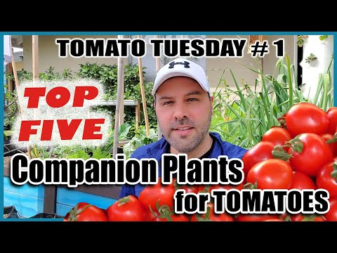 5 Best Companion Plants for Tomatoes for Maximum Yields and Healthy Plants & 2 Plants Tomatoes Hate