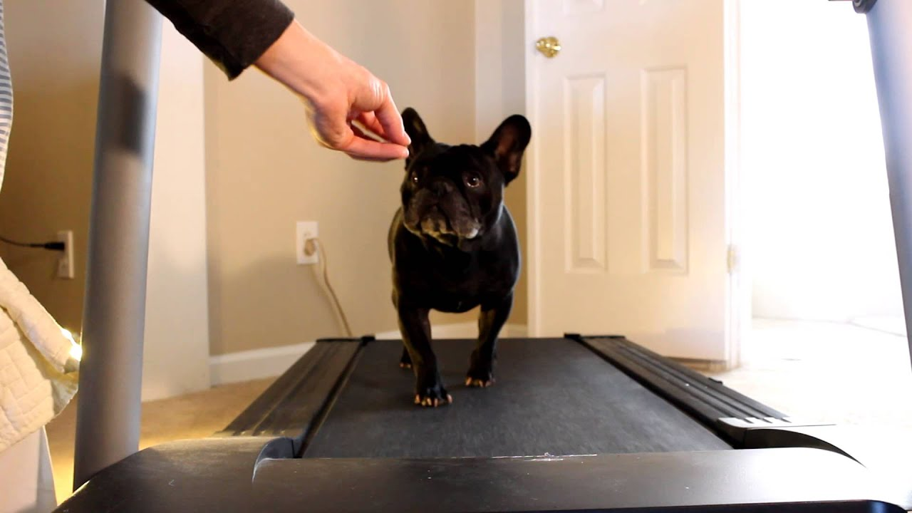 george the french bulldog runs on a treadmill new years resolution