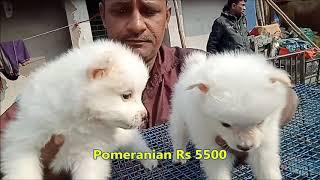 White Pomeranian Dog Price In Kolkata