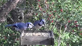 Blue Jays On Bird Feeder