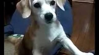 Beagle ビーグル える#10 この子はどこから声を出しているんだろう?