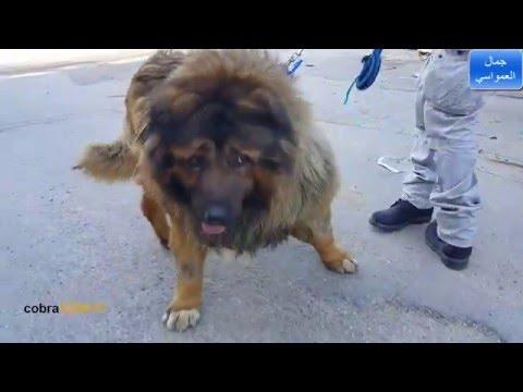 هكذا يتم تحميل الكلب سيمبا بالسياره مع جمال العمواسي