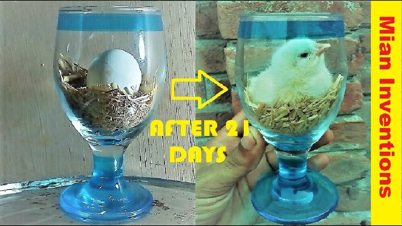 Download How to hatch eggs at home without incubator || How to make mini incubator at home || Egg hatching