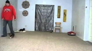 Beagle Obedience Training    Off Leash Obedience   Behavior Modification