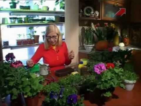 Выращиваем помидоры по методу Октябрины Ганичкиной 70