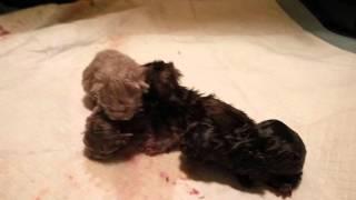 Новорожденные британские шоколадные и лиловые котята