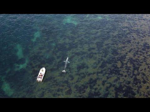 فيديو | للمرة الأولى.. رصد حوت رمادي قبالة الشواطئ الفرنسية…  - نشر قبل 6 ساعة