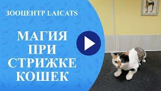 Стрижка кошек обучение, груминг кошек.