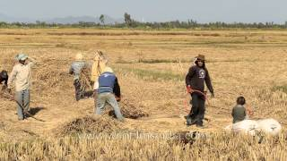 Farmers busy threshing paddy, Imphal