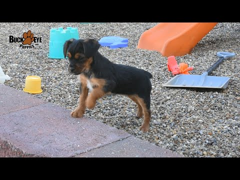 Yorkshire Terrier Mix Puppies
