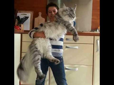Gorgeous Norwegian Forest Cats.......