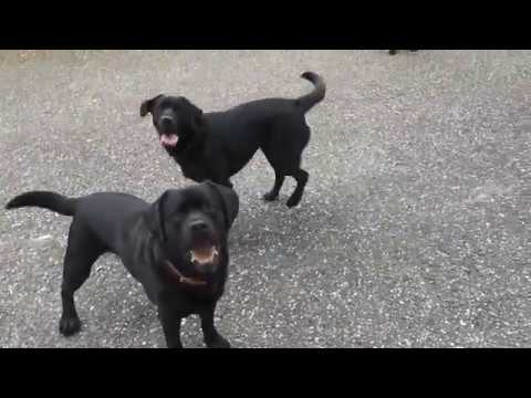 English Labrador VS American Labrador (and one in between)