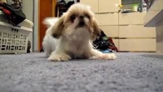 Attack Of The Killer Shih Tzu
