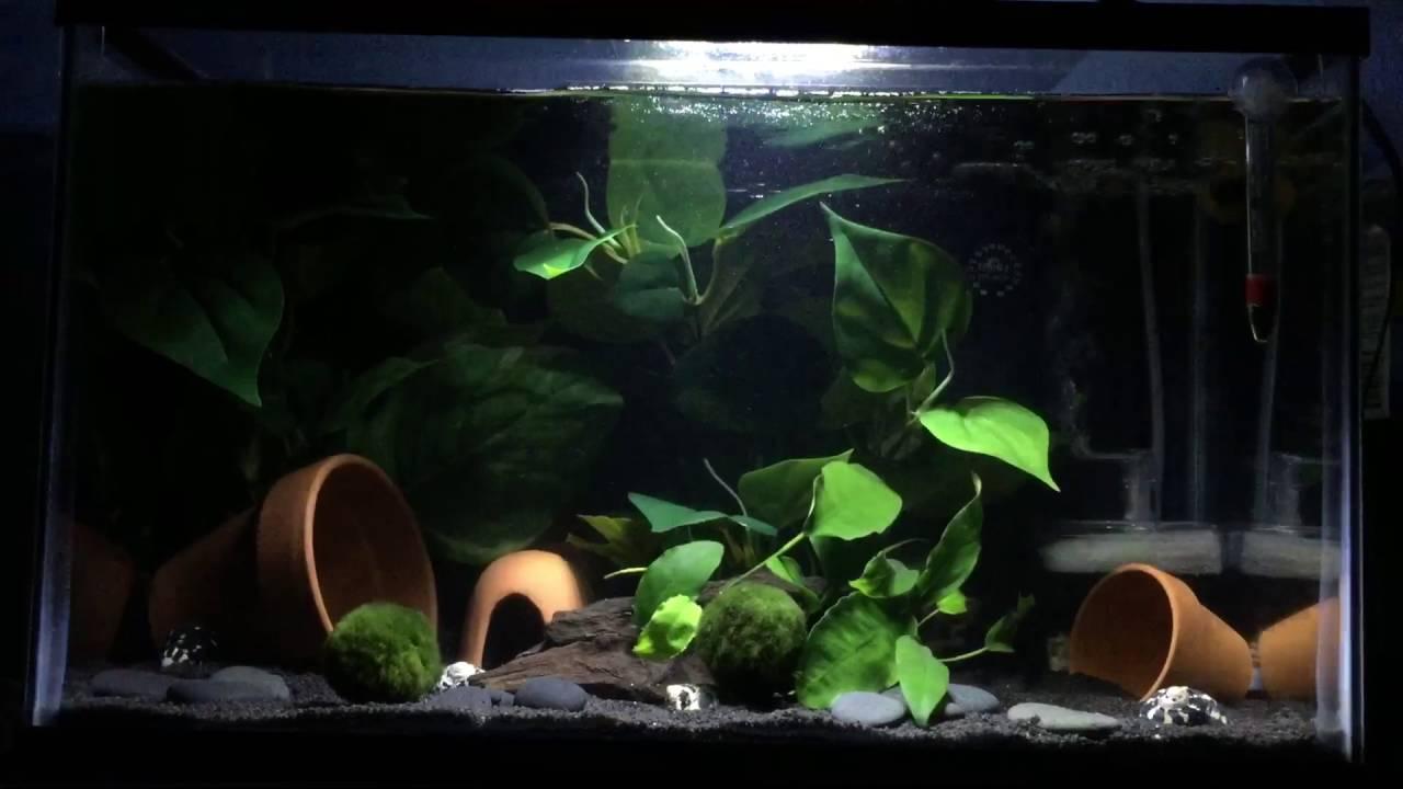 10 Gallon Community Tank Betta African Dwarf Frogs Snails