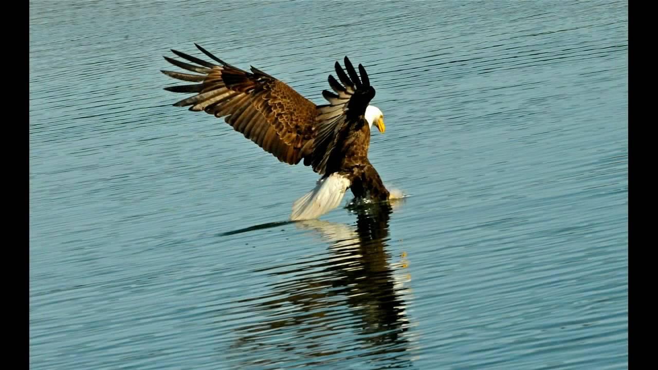 Bald eagle fishing at bass lake ca youtube for Bass lake ca fishing
