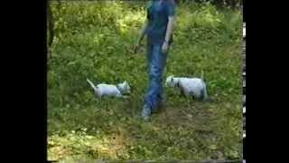 West Highland White Terrier. Festival.