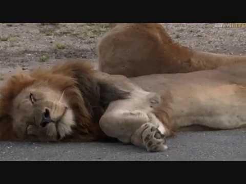 Pt 1 Safari Live's Sunset Safari Drive at 4:00 PM on March 26, 2017 ( Lions & Mvula )