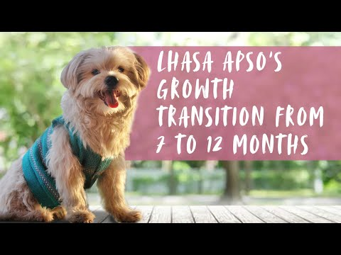 Lhasa Apso puppy growing up from 7 months to 12 months