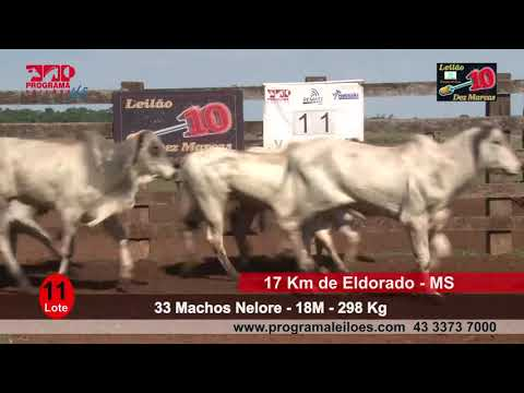 Lote 11   33 Machos