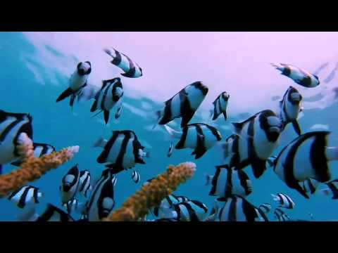 Humbug Damselfish Tricked With GoPro