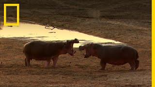 قتال الحيوانات: الحلقة 1 | ناشونال جيوغرافيك أبوظبي