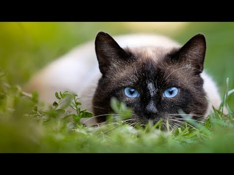 How to Care for a Siamese Cat - Feeding Your Siamese Cat
