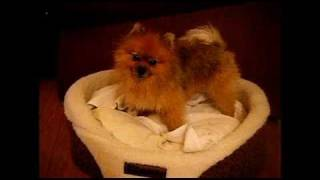 MAX, The Cute Pomeranian: Singing After The Shower