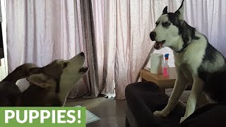 Husky howling contest is a very loud game!