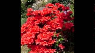 Любимые растения-Азалия