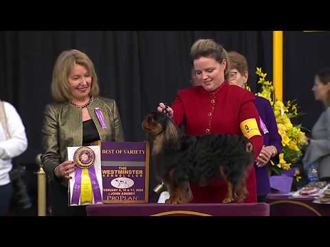 English Toy Spaniels (King Charles & Ruby) | Breed Judging 2020