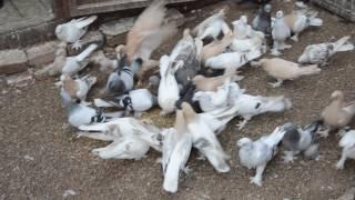 Турецкие голуби Такла  (вторая голубятня)(Всю информацию найдете здесь: ОК: https://ok.ru/profile/561036587733 тел: +79276365966., 2016-08-20T18:17:18.000Z)