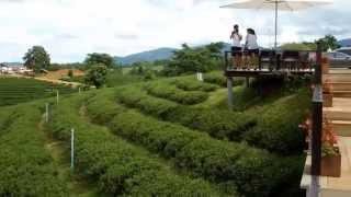 Choui Fong  Tea Plantation, ChiangRai