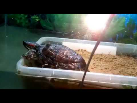 Что делать после того как красноухая черепаха отложила яйца
