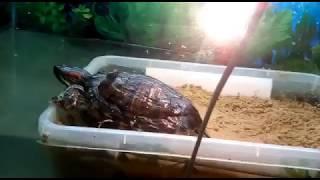 Что делать после того как красноухая черепаха отложила яйца.