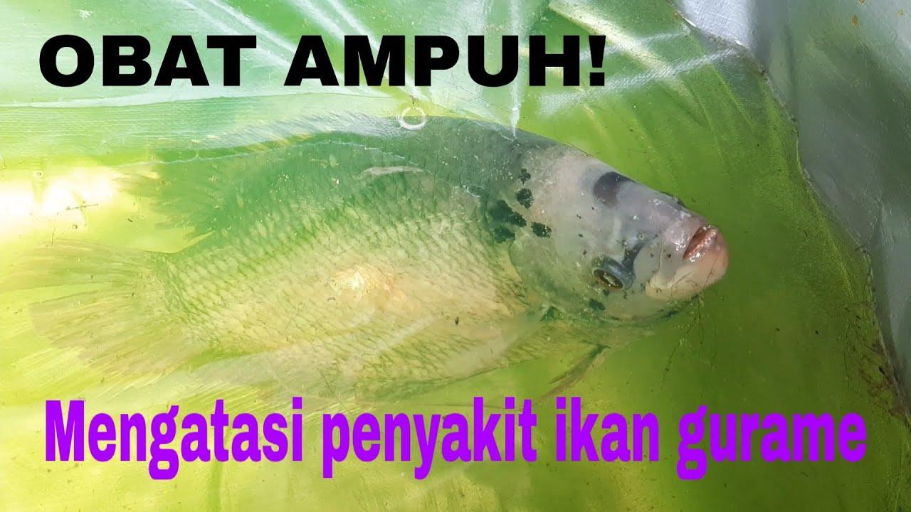 Cara Mengobati Ikan Gurame Kena Jamur Jamuran Youtube