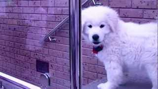 Samriever Puppy Goes Down The Stairs! (samoyed X Golden Retriever)