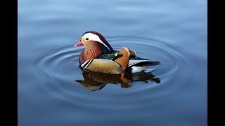 УТКА МАНДАРИНКА. Сенсация в Терлецком парке/Mandarin duck