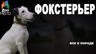 Фокстерьер - Все о породе собаки | Собака породы - Фокстерьер